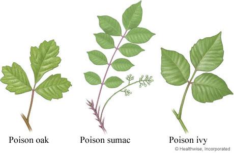 find poison ivy in michigan